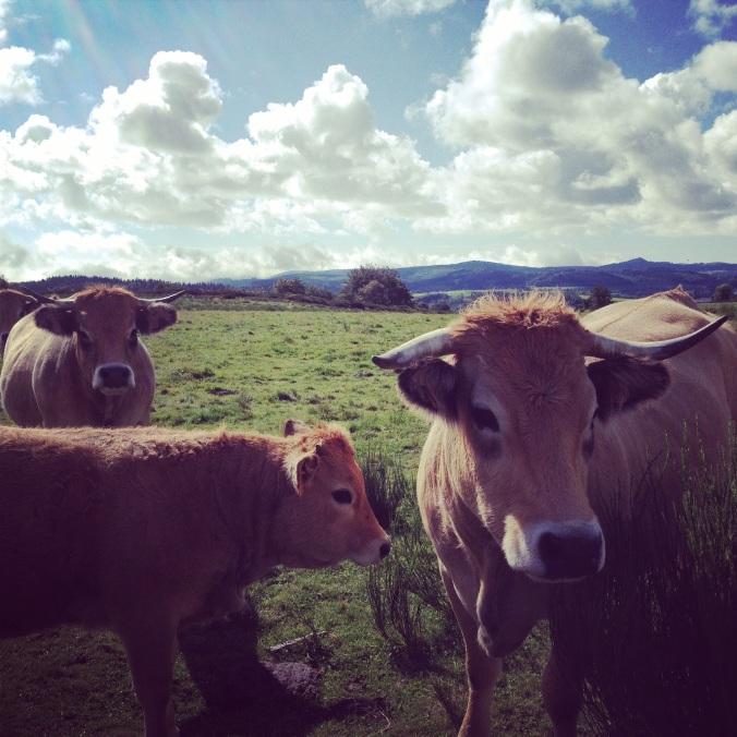 les vaches de l'Aubrac