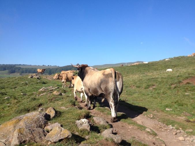 randonnée aubrac vache